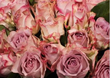 51 роза Мемори Лейн
